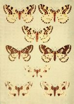 Moths_of_the_British_Isles_Series2_Plate103