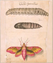 [Small elephant hawk moth (Deilephila porcellus), caterpillar, and pupa].